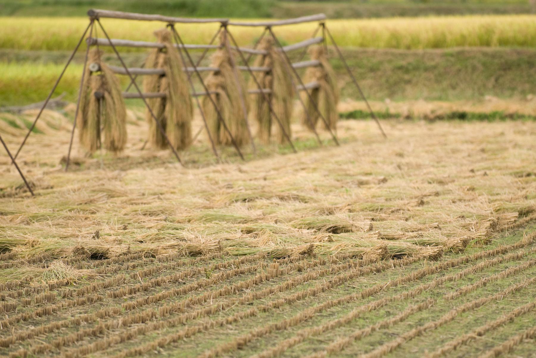 Ris høst